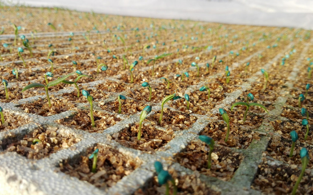 Cultivo de Pimientos 2018
