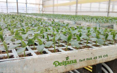 Plantas de pepino y variedades