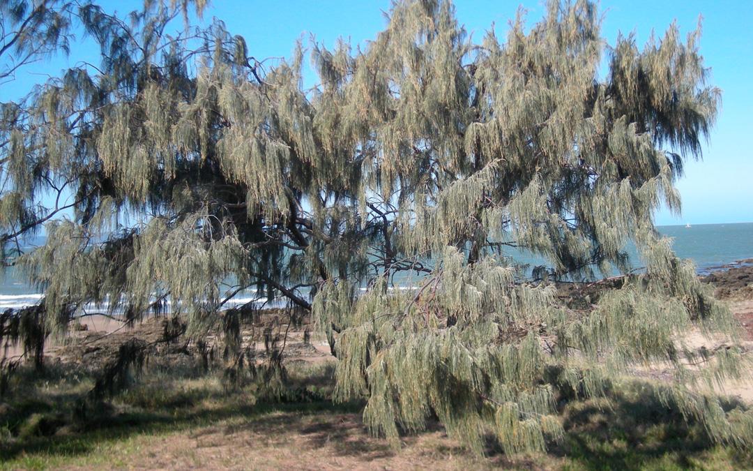 Casuarina, conoce más sobre el pino australiano