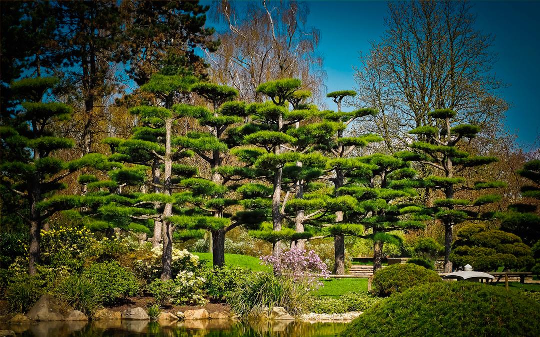 Cedro japonés
