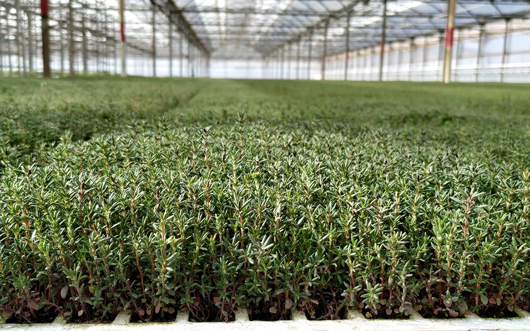 Plantas para controlar plagas